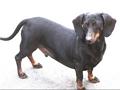 寵物遺失,請協助找尋我的寶貝---臘腸狗