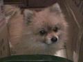 寵物遺失,請協助找尋我的寶貝---博美