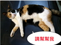 貓咪遺失,請協助找尋我的寶貝---米克斯